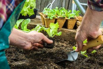Farmer planting young seedlings of lettuce salad in the vegetable garden